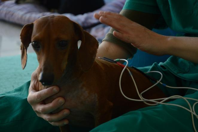 Fisioterapia Veterinaria Elettrostimolazione